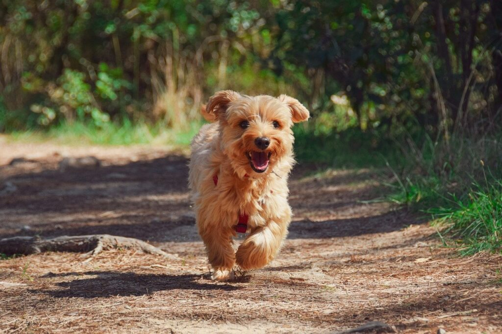 dog, puppy, yorkie